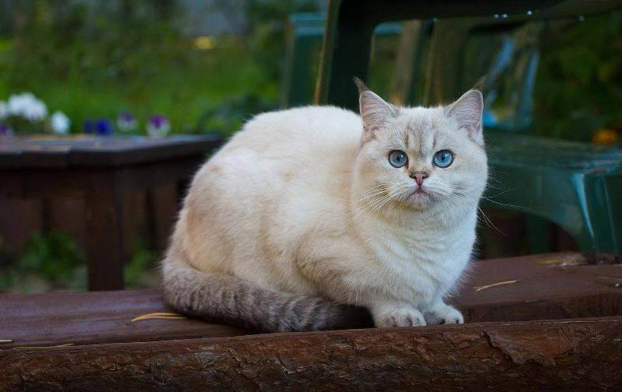 Белый окрас у британских котов и кошек