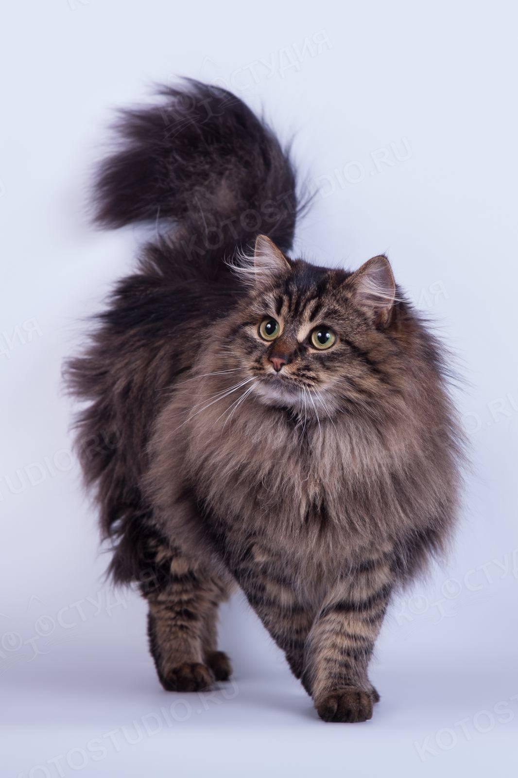 Короткошерстные породы кошек - названия и фото (каталог)