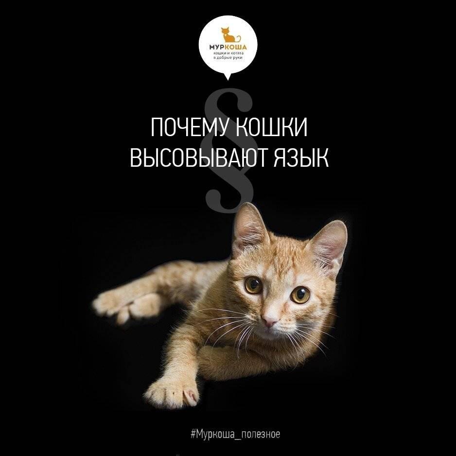 Зачем кот высовывает кончик языка: возможные причины