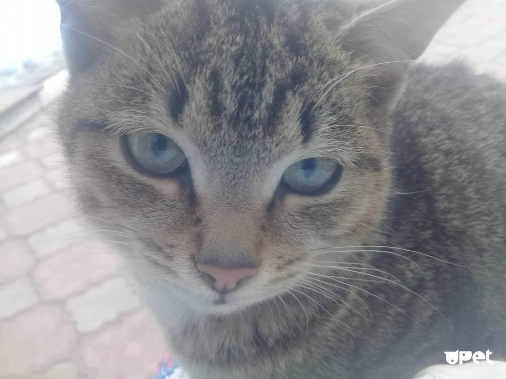Вислоухие британцы: как выбрать кошку несуществующей породы