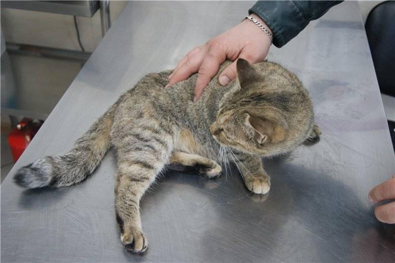 Как вылечить вирусный лейкоз у кошек?