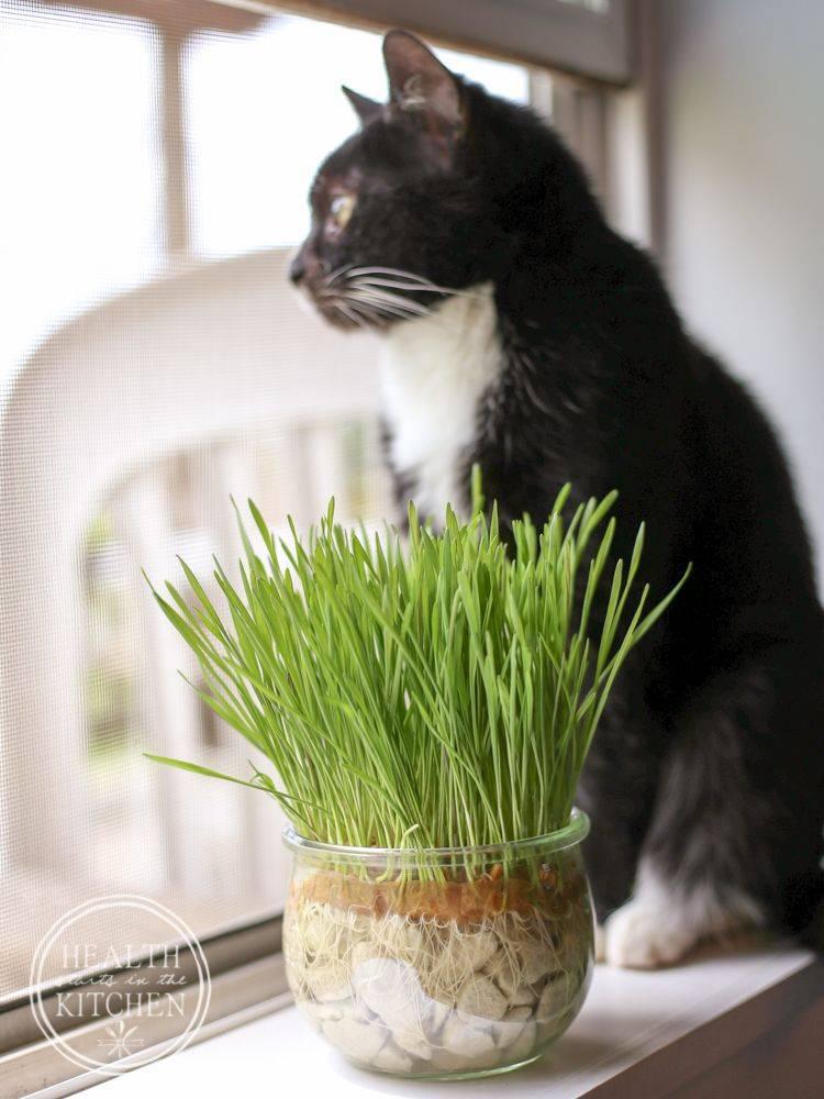 Трава для кошек: какую они любят и как правильно вырастить?