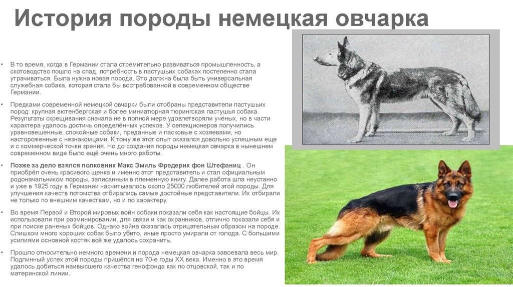 Продолжительность жизни немецкой овчарки: факторы, влияющие на старение собаки