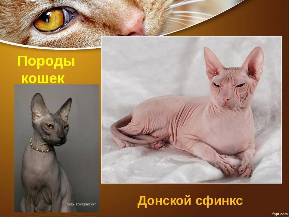 10 фактов и мифов о кошках-сфинксах