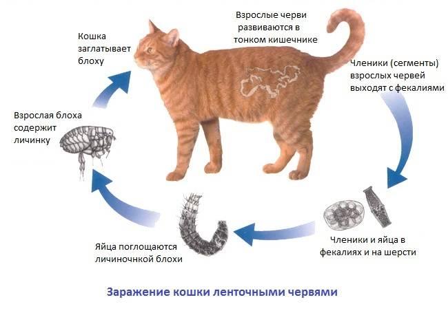 Может ли кошка заразиться глистами от другой кошки - все про паразитов