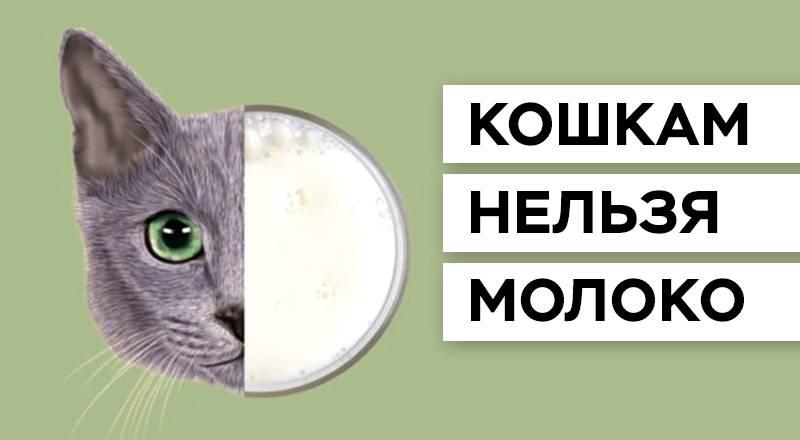 Можно ли кошкам давать молоко – советы и рекомендации