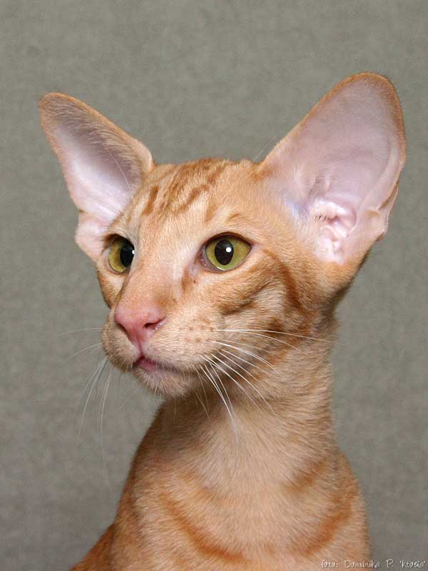 Кот с приплюснутой мордой и большими глазами: как называется порода кошек с плоским носом?