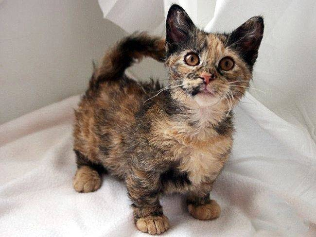 Самые маленькие породы кошек в мире: с фото и названиями