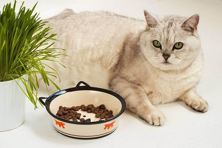 Чем кормить пожилую кошку и кота: готовыми кормами или натуральным питанием?