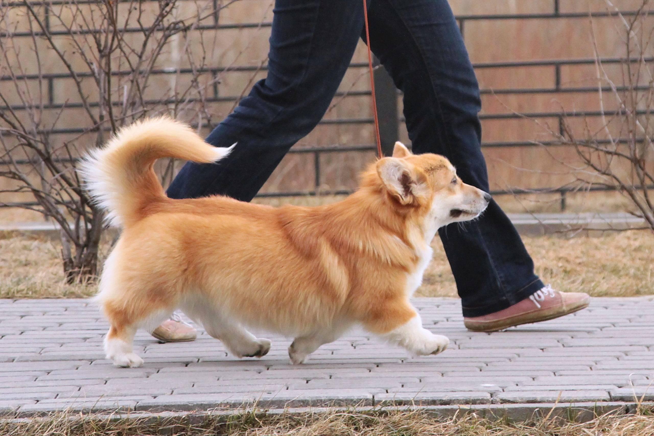 Что такое флаффи ген у вельш-корги пемброк и кардиган: что за порода собак