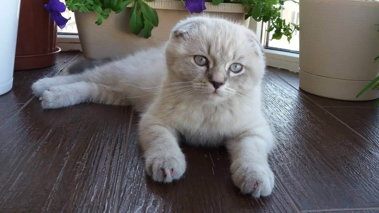 Помогите определиться с породой. британец или шотландец? - запись пользователя masha (mashapolozova) в сообществе домашние животные в категории хотим завести зверушку - babyblog.ru