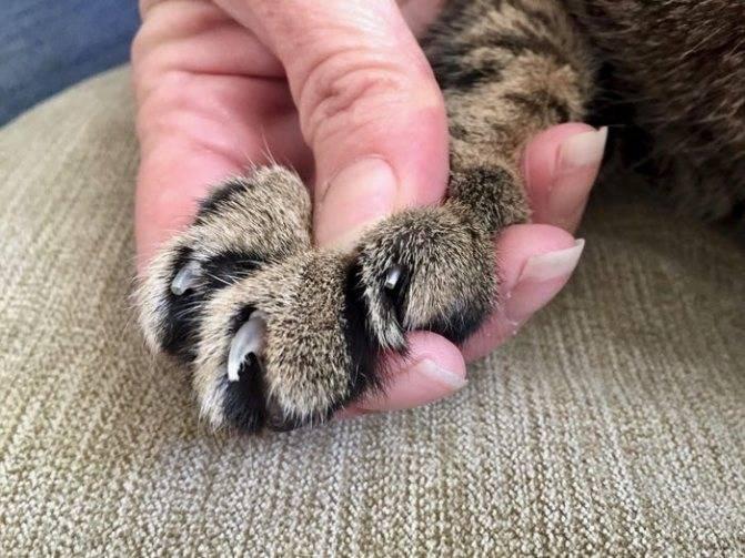 У кошки слоятся когти: в чем причина и что делать? | zdavnews.ru