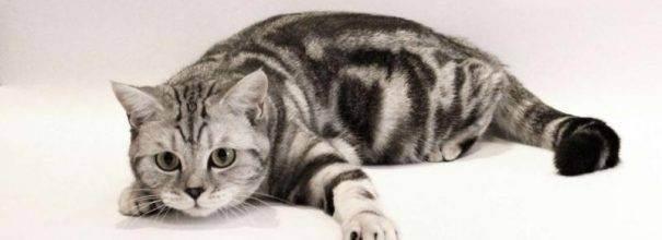 Стерилизация шотландских кошек, прямоухих и вислоухих