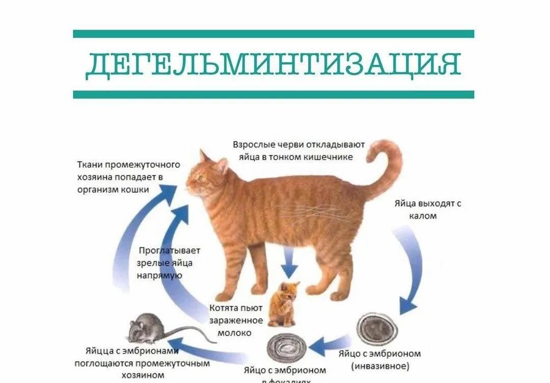 Как вывести блох у котёнка в домашних условиях