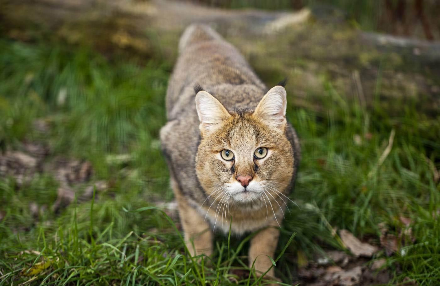 Камышовый кот – любимый питомец или опасный хищник?