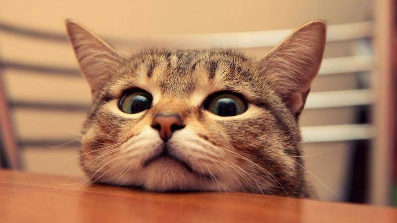 Самые умные породы домашних кошек (список), особенности и критерии оценки интеллектуальных способностей животного, фото