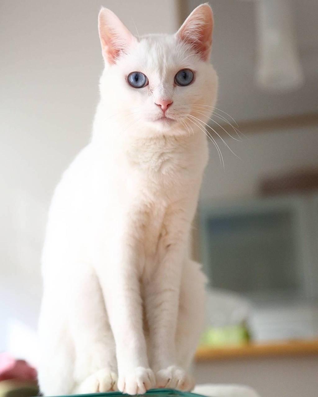 Породы белых кошек с названиями и фото