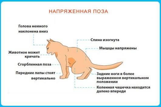 Цистит у кошек: симптомы и эффективные методы лечения