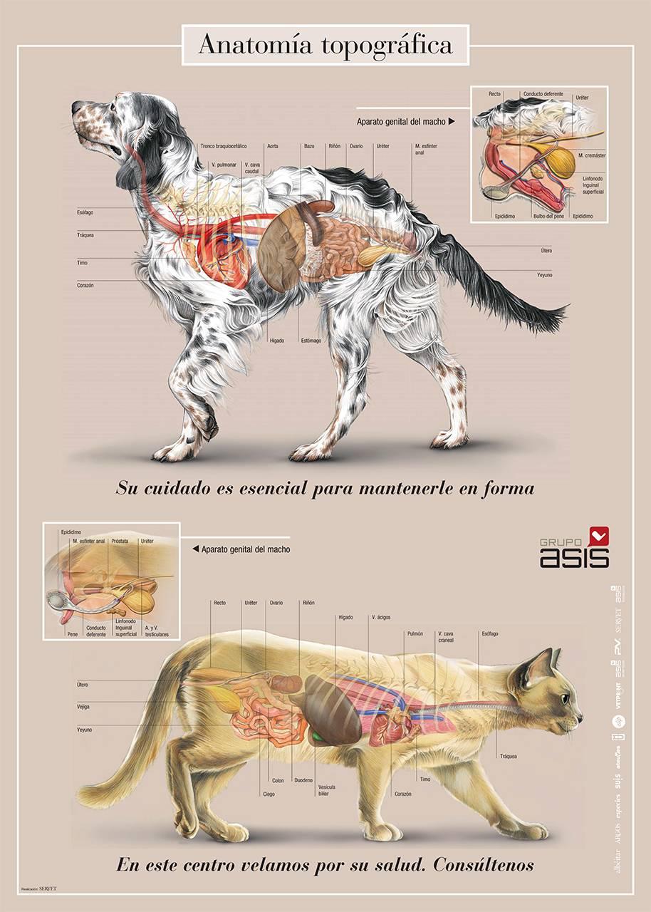 Описание кошки: анатомия, строение внутренних органов домашнего животного