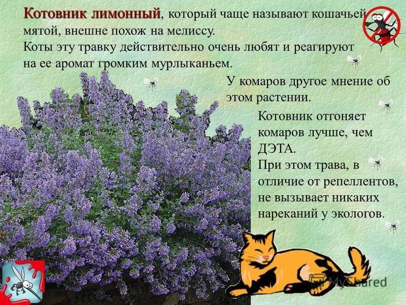 Кошачья мята: что это такое, для чего она нужна кошкам? как вырастить котовник