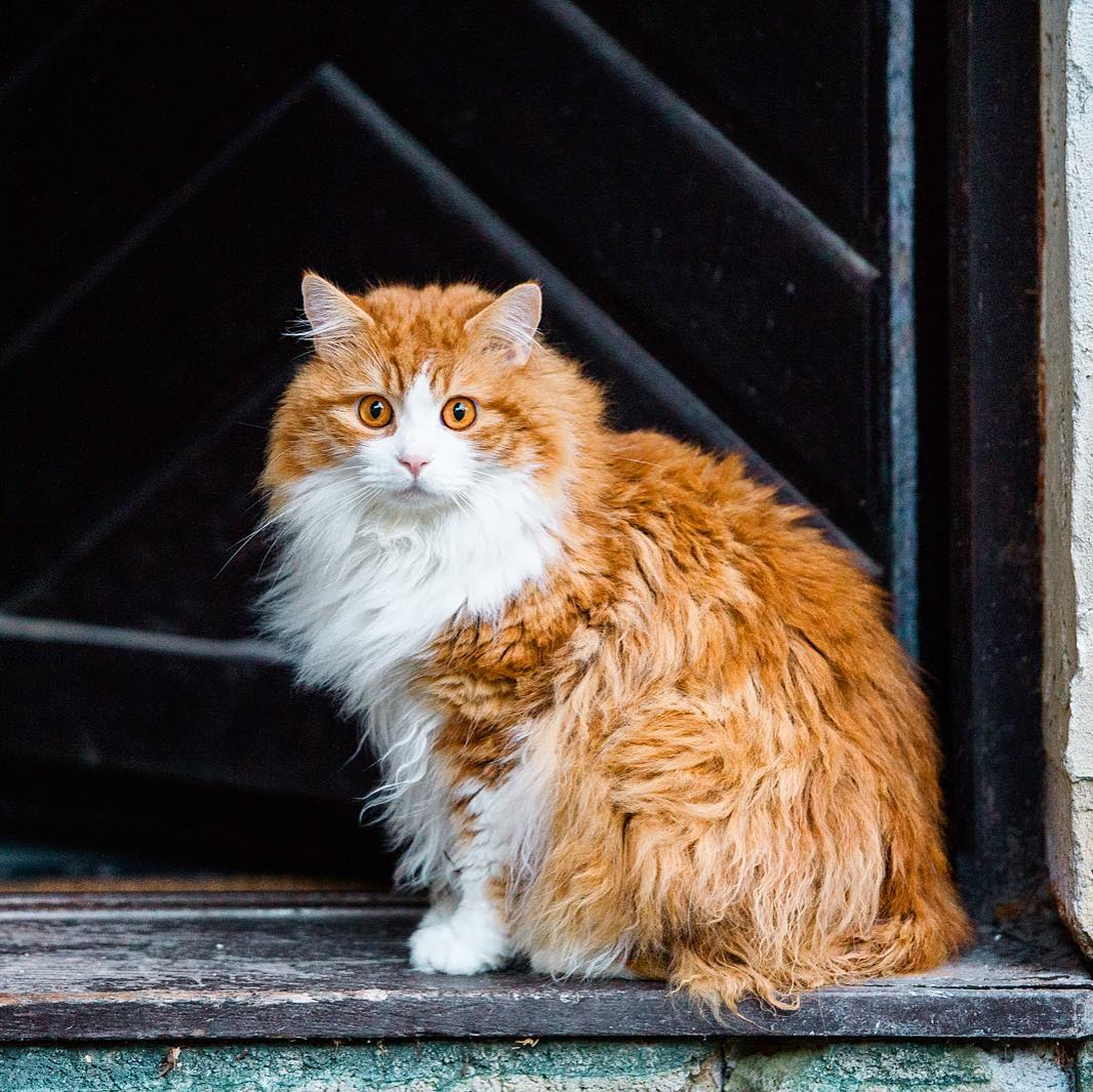 Мэнкс (31 фото): описание кошек породы мэнкс. особенности разведения длинношерстных котов. варианты окраса