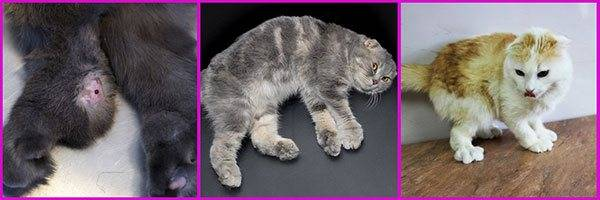 Болезни шотландских вислоухих кошек - причины, признаки, терапия