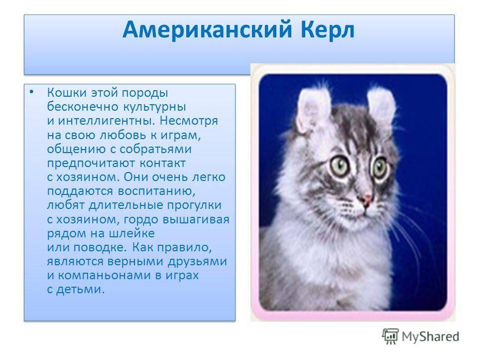Американский керл: фото, цена, описание породы кошек