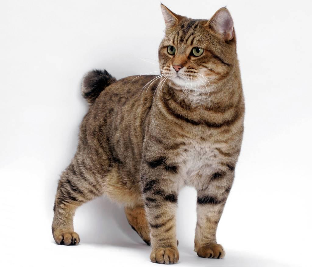 Меконгский бобтейл – кошка с крючковатым хвостом