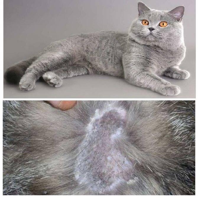 Почему у кота выпадает шерсть и появляются проплешины: что делать