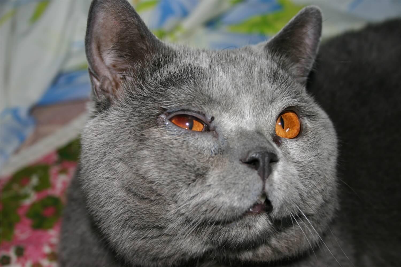 Кошка чихает и гноятся глаза совет ветеринара