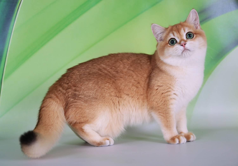 Кошка золотистая шиншилла — описание породы