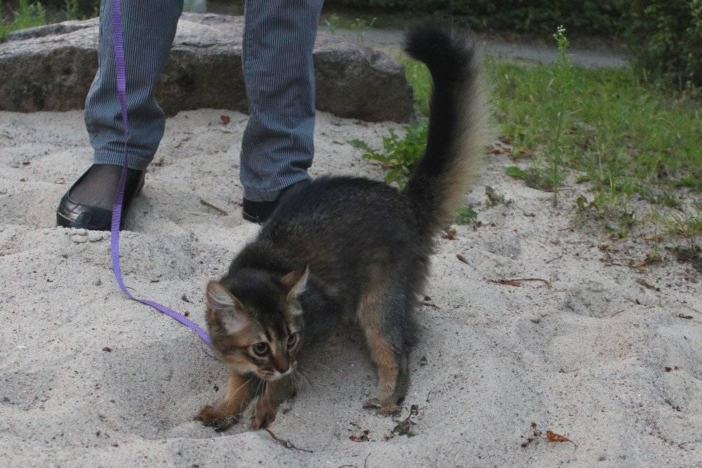 Курильский бобтейл  фото кошки, описание, характер, уход, кормление, окрасы, виды хвоста, цена породы