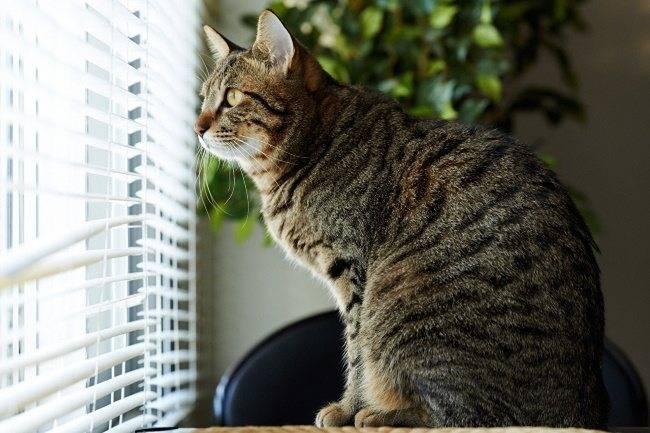 Вязка британских кошек — правила