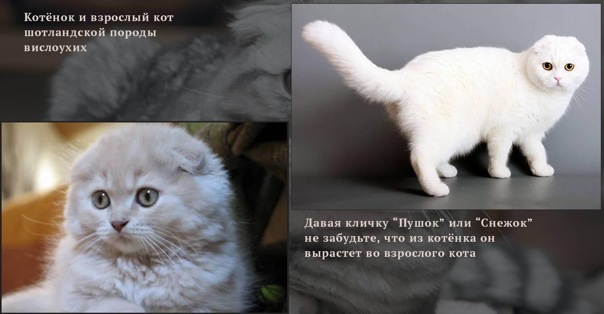 Имя для шотландской вислоухой кошки: популярные прикольные и красивые клички, которыми можно назвать серого котенка и другого цвета