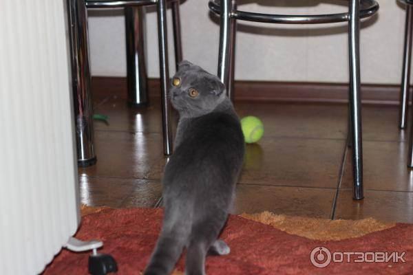 Ловят ли вислоушки мышей ???! - запись пользователя ленарес (nugardle) в сообществе домашние животные в категории кошки. болезни, прививки, советы по уходу - babyblog.ru