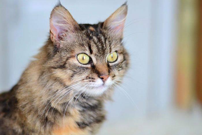 Кошки с кисточками на ушах: названия пород, их описания и фото