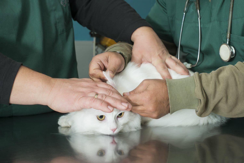 Температура тела у кошек: норма, отклонения и способы измерения