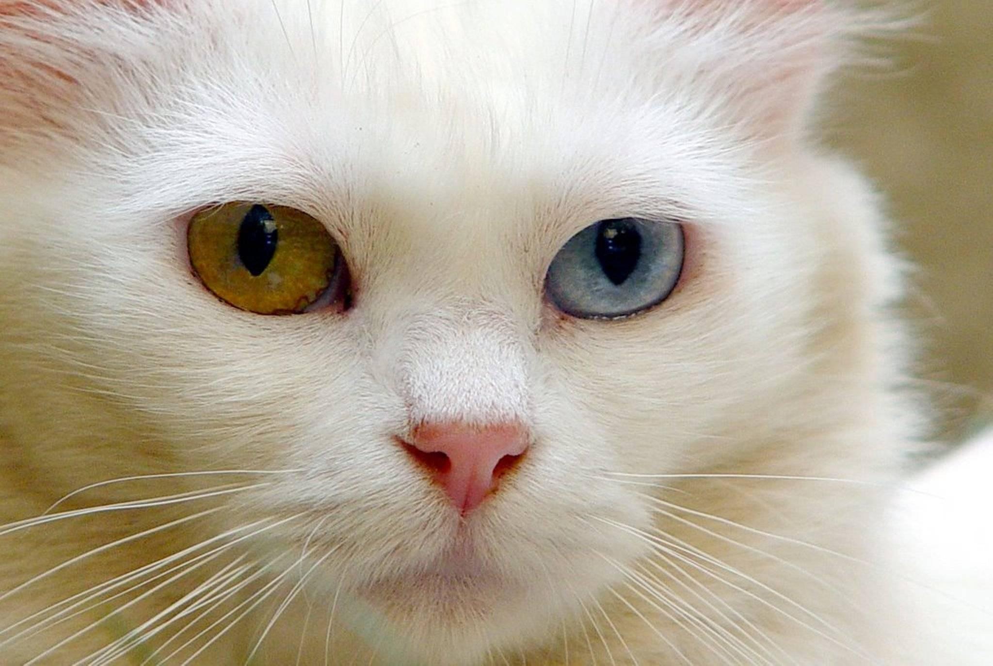 Белые кошки — аристократы до кончиков когтей