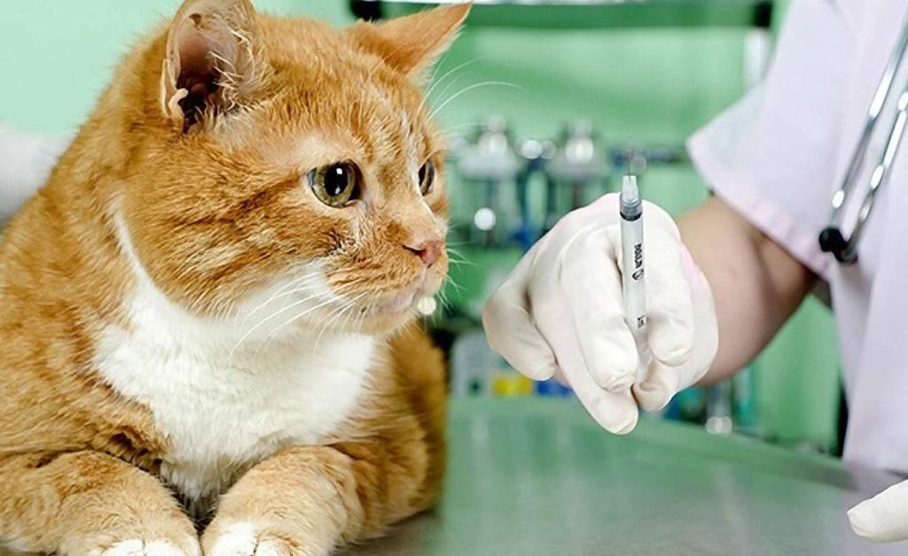 Вакцина против бешенства для котов и кошек: последствия, куда делать