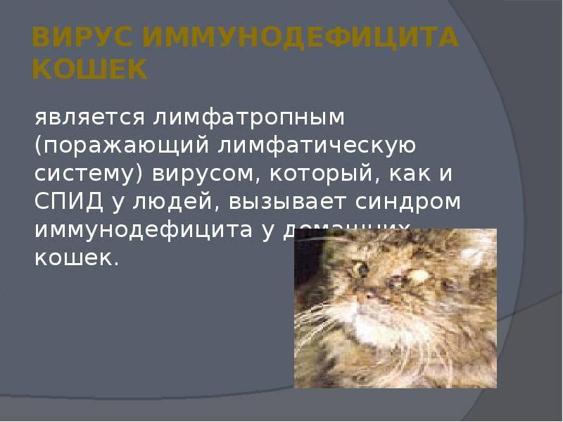 """Вирус иммунодефицита кошек: симптомы вирусного """"кошачьего СПИДа"""", лечение заболевания, прогноз"""