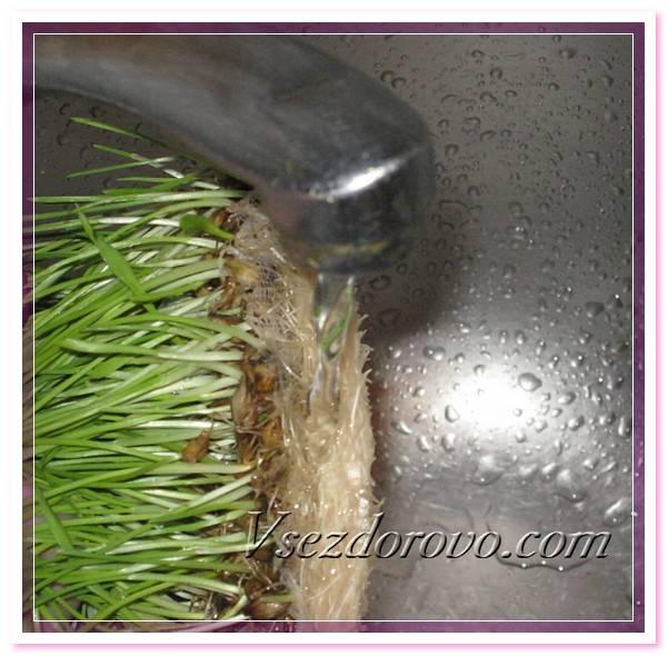 Трава для кошек от авитаминоза. как посадить дома любимую траву для кошек