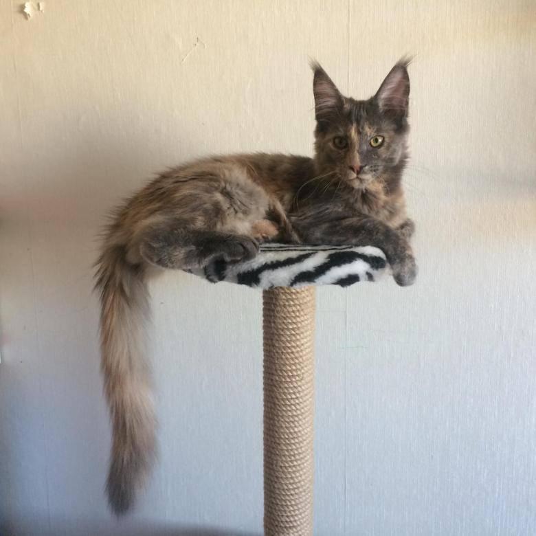 Как рожает в первый раз кошка породы мейн кун