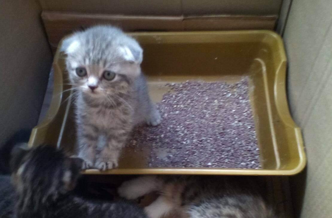 Шотландский прямоухий котенок как приучить к лотку