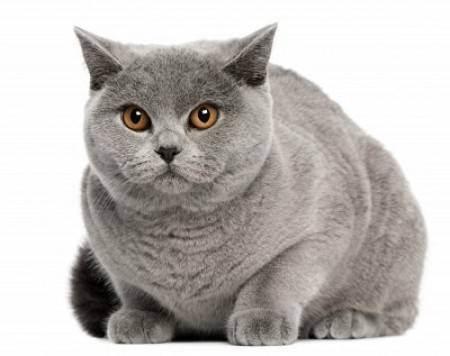 Британские кошки лилового цвета