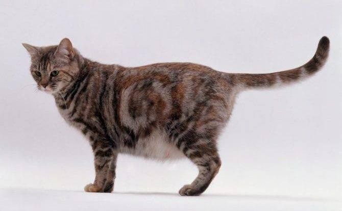Сколько недель длится беременность у британской кошки
