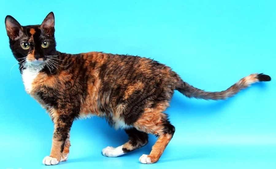 Породы кудрявых кошек и условия их содержания