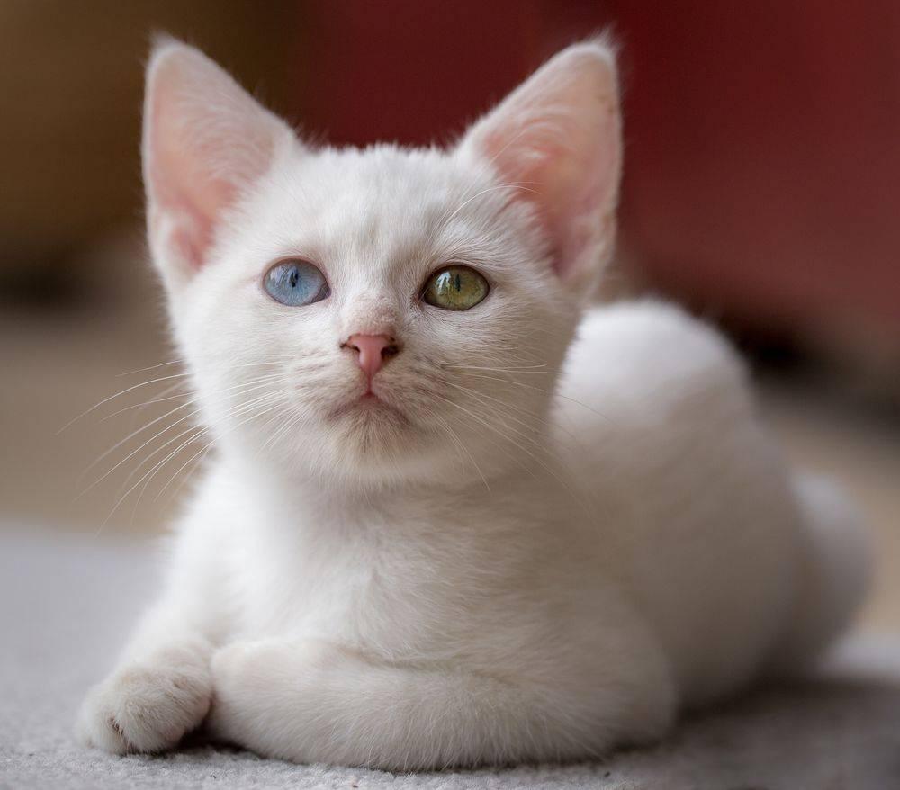 Явление разных глаз у кошек: названия популярных пород и причины гетерохромии