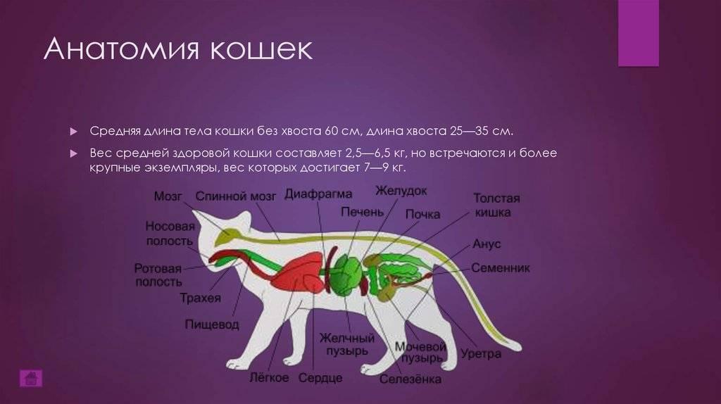 Где у собаки находится сердце: расположение, функции кровеносной системы, заболевания сердца у собак