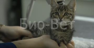 Алиментарный гиперпаратиреоз у кошек