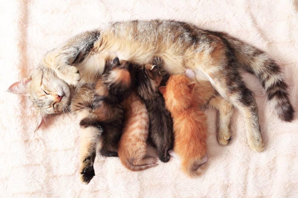 Если кошка беременна может ли она просить кота, как она себя ведет, можно ли ее стерилизовать, какие признаки, одним котенком виден ли живот